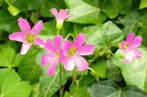 Pink Ivy_sml